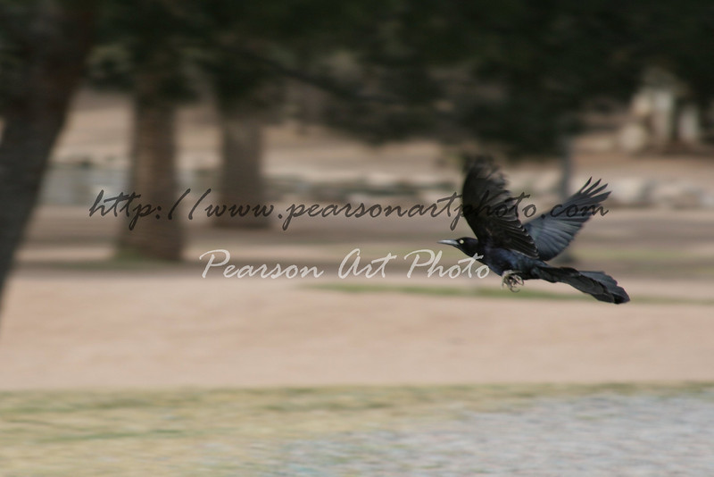 Male Great-tailed Grackle (Quiscalus mexicanus) bird soaring through a park, clearly in focus with it's wings extended. Zoomed in vs other image.