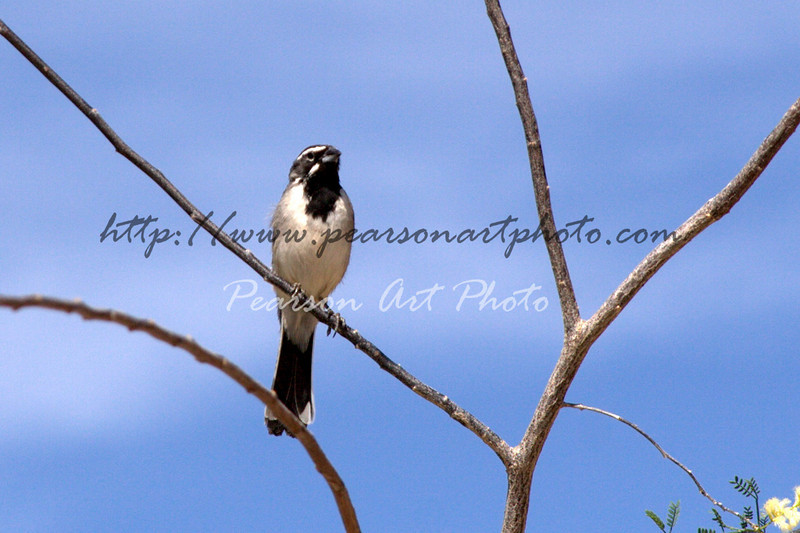 Black Throated Sparrow, also commonly known as the Desert Sparrow.
