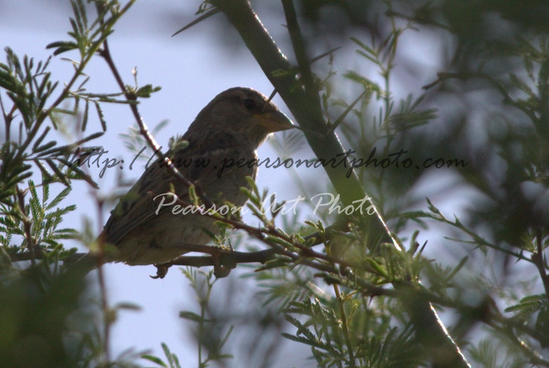Pine Siskin, a small bird found across the Americas. This one was found near my house in Tucson, AZ