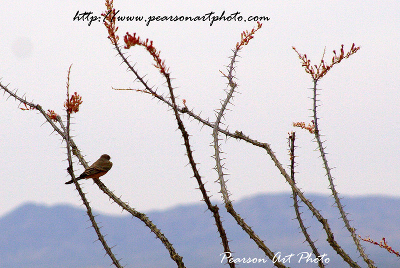 Single bird (Desert Wren?) sitting on a spiky plant, staring off into the mountains.