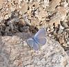 Ceraunus Blue, Jenny's Wash, Awatookee, AZ nov 24, 2006 005