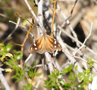Arizona Butterflies, nov 2006