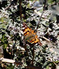 Painted Lady, Jenny's Wash , Awatookee, AZ, nov 29, 2000b 02