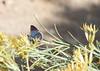 Reakirt's Blue,San Pedro Riparian Area, AZ nov 25, 2006 03