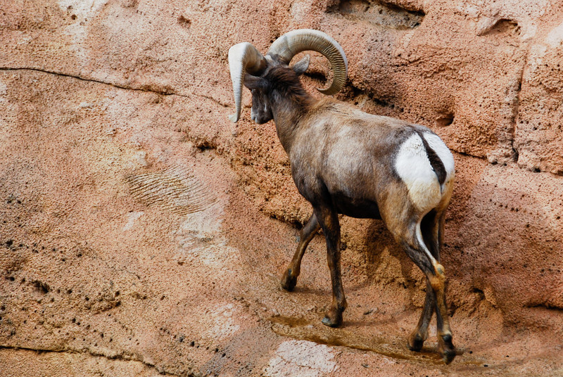 male Desert Bighorn Sheep