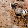 male Desert Bighorn Sheep