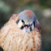American Kestrel, crying out. It looks like a chick, but it's actually an adult. It's puffed up because it's cold.