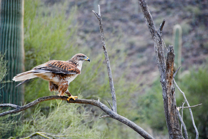 Ferruginous Hawk at the Raptor Free Flight demonstration