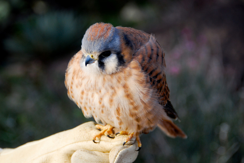 American Kestrel, you can see how small it is in this photo. It is an adult, and it's puffed up because it was very cold on this morning.