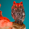 Western Screech Owl. The red light is a heat lamp and the wall was painted blue. I couldn't have asked for cooler-looking lighting.