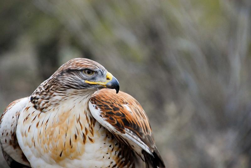 Ferruginous Hawk after the Raptor Free Flight demonstration