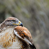 Ferruginous Hawk after the Raptor Free Flight demonstration