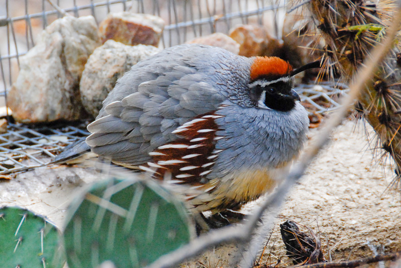 Gambel's quail, super-puffed up to stay warm