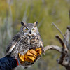 Great Horned Owl at the Raptor Free Flight demonstration
