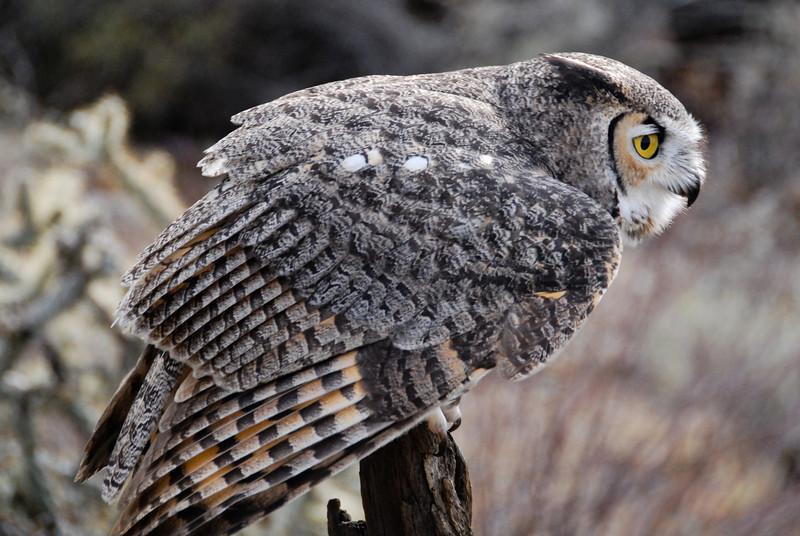 Great Horned Owl at the Raptor Free Flight demonstration