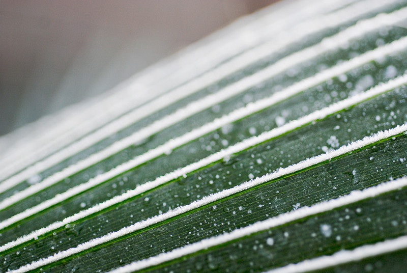 Frosted palm frond