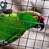 Thick-Billed Parrot that flew over to the edge of its cage to talk to us.