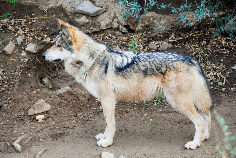 Mexican Gray Wolf, looking very regal