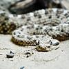 Sidewinder Rattlesnake
