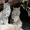 Bobcats