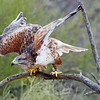 Ferruginous Hawk at the Raptor Free Flight demonstration