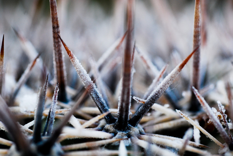 Frosted Saguaro spines