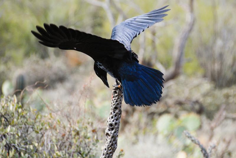 Raven at the Raptor Free Flight demonstration