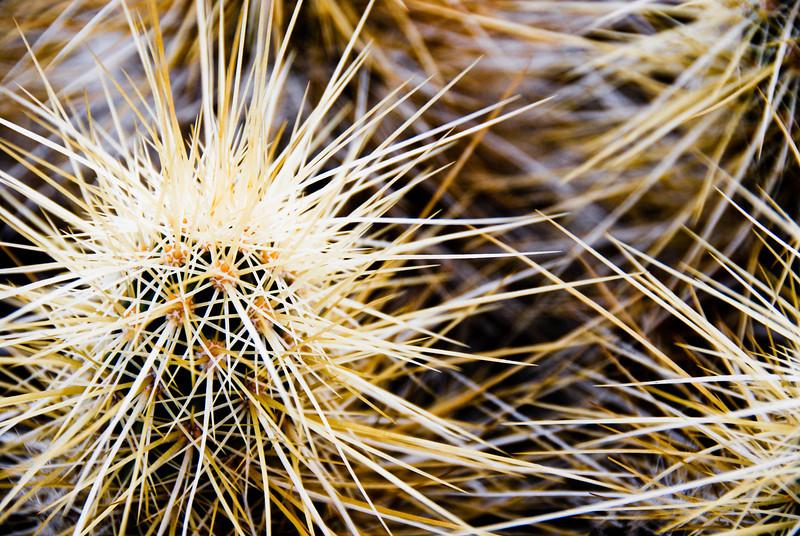 Golden Hedgehog Cactus
