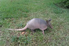 An armadillo strikes a pose.
