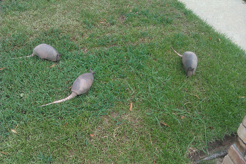Armadillos apparently like to browse between blades of grass.