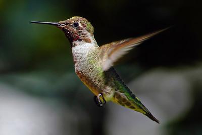 _DSC0775-Hummingbird