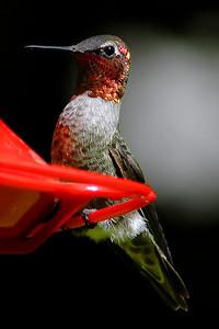 _DSC0633-Hummingbird