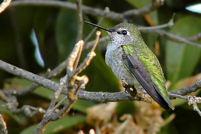 _DSC0886-Hummingbird