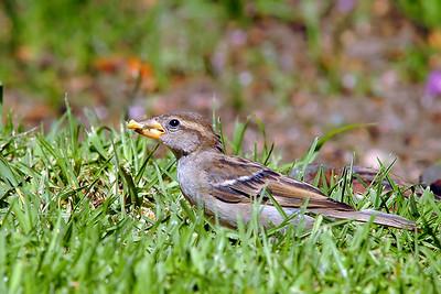 _DSC0861-Sparrow