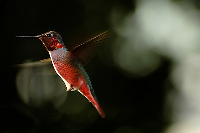 _DSC0555-Hummingbird-4x6