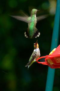 _DSC4567-Hummingbird-4x6