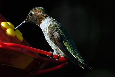 _DSC0537-Hummingbird-4x6