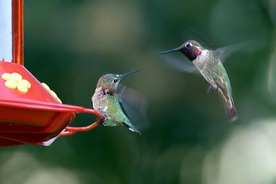 _DSC4510-2Hummingbirds-4x6
