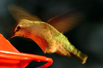 _DSC0890-Hummingbird