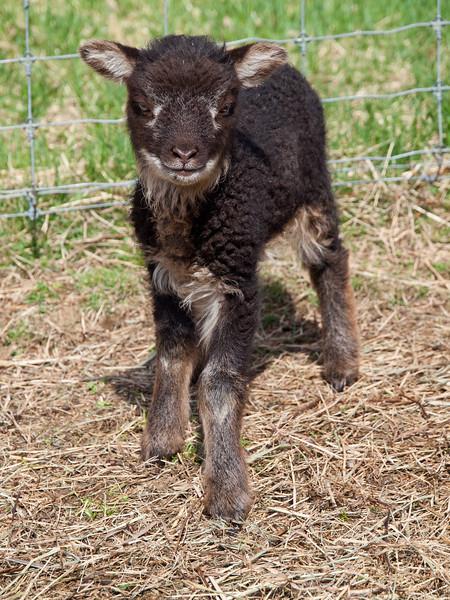 Shetland lamb - Pike Hill Farm in Plymouth, NH