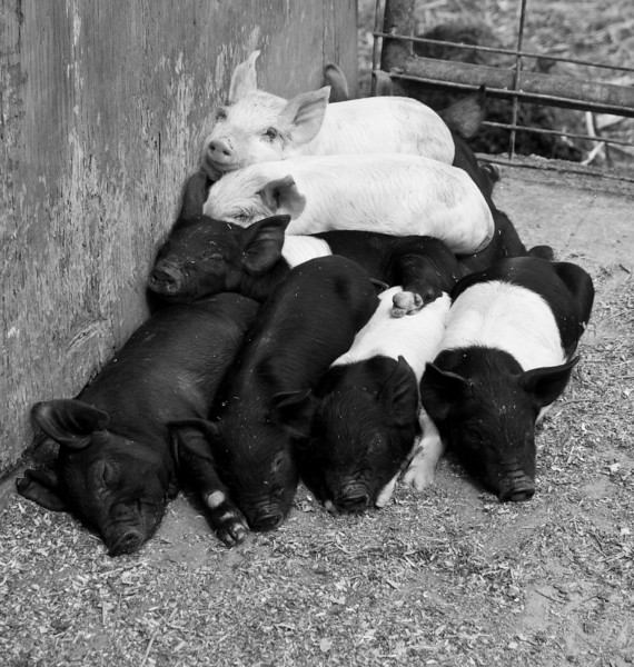 A proper Pig Pile at Gitch's Funny Farm, Hill, NH