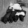 A proper Pig Pile at Gitch's Funny Farm, Hill, NH