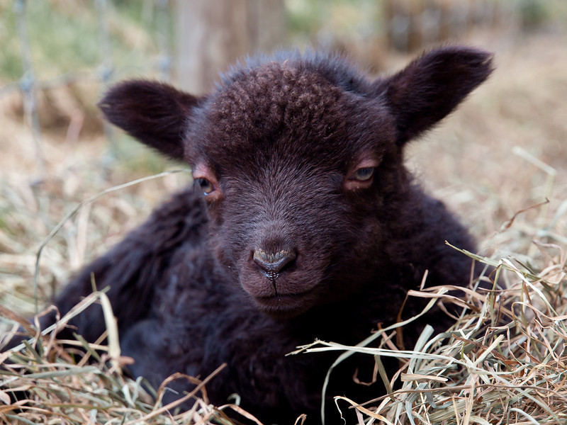 Shetland lamb is annoyed that I'm keeping it awake - Pike Hill Farm in Plymouth, NH