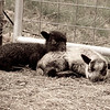 Twin Shetland lambs settle down for a short nap at Pike Hill Farm in Plymouth, NH