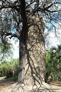 25' Termite mound, Selous Game Reserve tanzania 1/07/09