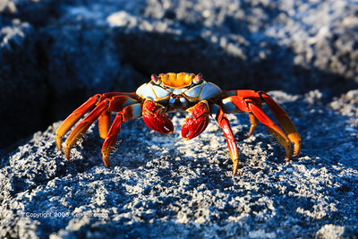 Very colorful crab, Isla Fernandina 11/04/08