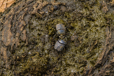 Dung beetles battle over creation of a dung ball. Victor gets the really good dung! Republic of Congo , Ndzehi Concession Department of Cuvette-Quest.