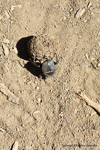 Dung Beetle with his dungball (male), Tanzania 1/03/09