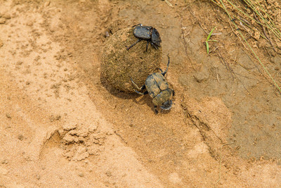 Dung Beetle his gal and his dung ball. Does life get any better than this? Republic of Congo , Ndzehi Concession Department of Cuvette-Quest.