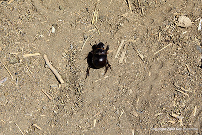 Dung beetle without a dung ball, Tanzania 1/03/09